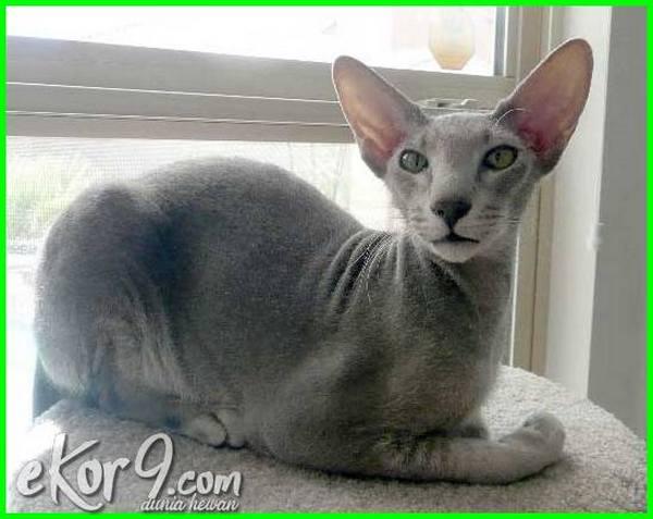 nama kucing tanpa bulu, ras kucing tanpa bulu, kucing persia tanpa bulu, spesies kucing tanpa bulu, kucing mahal tanpa bulu, apa nama kucing tanpa bulu, gambar kucing tanpa bulu