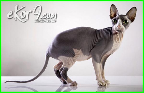 kucing tanpa bulu namanya, kucing tanpa bulu harga, kucing tanpa bulu adalah, kucing tanpa bulu raditya dika, kucing tanpa buluu, kucing pink tanpa bulu, jenis kucing tanpa bulu
