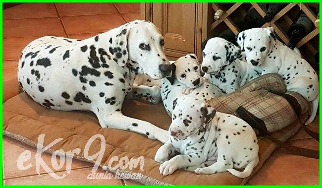 karakteristik anjing dalmatian, keunikan anjing dalmatian, kelebihan anjing dalmatian, anjing dalmatian kecil, anjing dalmation keren, makanan anjing dalmatian, nama anjing dalmatian, perawatan anjing dalmatian, anjing ras dalmatian, sejarah anjing dalmatian, tentang anjing dalmatian, ternak anjing dalmatian, umur anjing dalmatian
