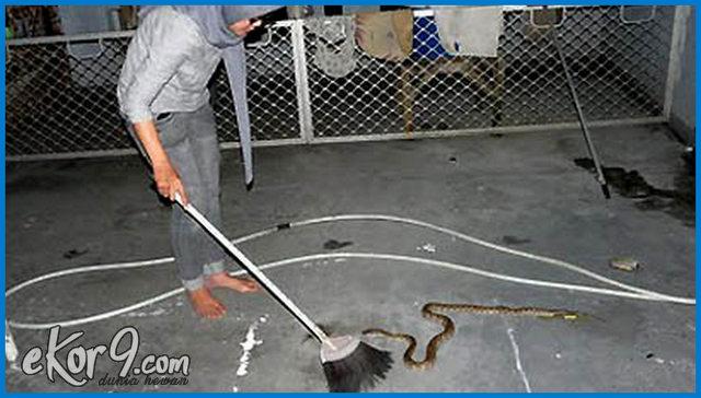 cara mengusir ular dengan belerang, cara mengusir ular dengan cepat, cara mengusir ular di atap rumah, cara mengusir ular di dalam mobil, cara mengusir ular di kamar, cara mengusir ular di kandang ayam, cara mengusir ular di kolam ikan, cara mengusir ular kawat, cara mengusir ular kobra, cara mengusir ular lidi, cara mengusir ular paling ampuh, cara mengusir ular piton, cara mengusir ular saat berkemah, cara mengusir ular sawah