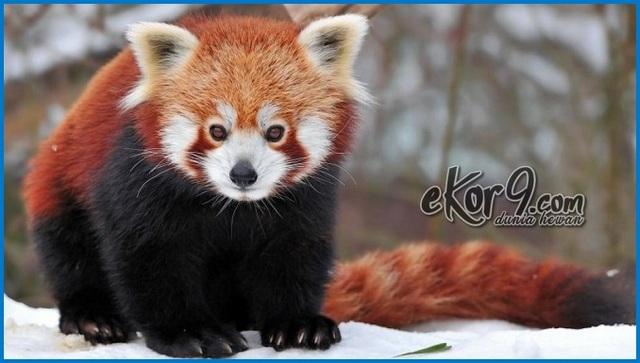 panda merah wallpaper, animasi panda bergerak, rakun merah, panda merah lucu, panda merah taman safari, panda merah jambu, panda merah dijual, panda merah di indonesia, panda merah jual, panda merah youtube, panda merah indonesia, panda merah wiki, harga panda merah, gambar panda merah, foto panda merah, boneka panda merah, jenis panda merah, artikel panda merah, panda merah adalah, asal panda merah, anak panda merah, beli panda merah, bayi panda merah, deskripsi panda merah, fakta panda merah