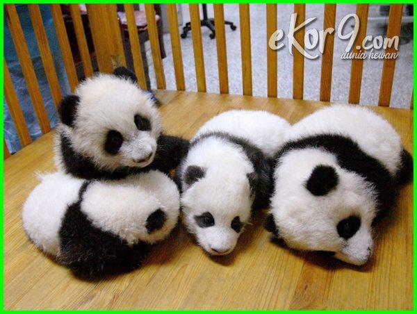 gambar bayi binatang lucu, bayi panda lucu, foto bayi hewan lucu, gambar bayi hewan lucu, bayi hewan yang lucu, bayi dan hewan lucu, bayi hewan yg lucu, gambar bayi dan binatang lucu, bayi hewan lucu