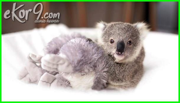 gambar koala lucu mirip kartun, gambar koala yang lucu, gambar boneka koala lucu, gambar koala yg lucu gambar hewan koala lucu, gambar anak koala lucu