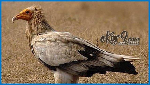 foto gambar burung hering, neophron percnopterus egyptian eagle, binatang eksotis, binatang eksotis di dunia, binatang eksotis indonesia, jual binatang eksotis, binatang peliharaan eksotis, binatang paling eksotis, sarang burung murai batu di hutan, bentuk burung ababil, burung nazar, burung garuda hidup asli