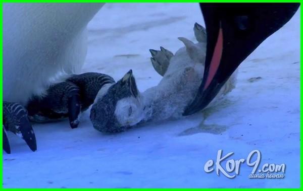 gambar penguin bersedih, gambar binatang bersedih, gambar hewan yang bersedih karena ditinggal anggota keluarganya