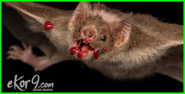 hewan kelelawar penghisap darah, gambar hewan kelelawar penghisap darah