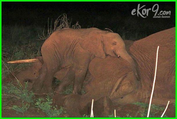 gambar binatang bersedih, hewan bersedih, gambar hewan bersedih, foto hewan bersedih, hewan bersedih, foto hewan menangis, gambar gajah bersedih, gambar gajah menangis, foto gajah bersedih