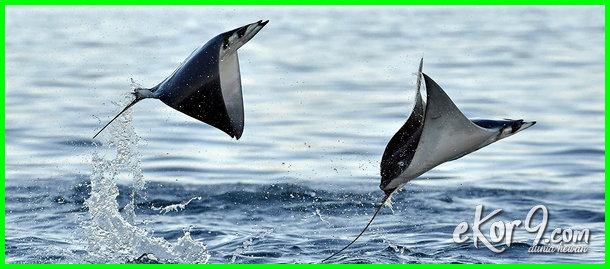 ikan apa yang bisa terbang, nama ikan yang bisa terbang, ikan laut yang bisa terbang ikan bisa terbang, tebakan ikan apa yang bisa terbang, tebak-tebakan ikan apa yang bisa terbang, teka teki ikan apa yang bisa terbang, mainan ikan bisa terbang, ikan ikan apa yang bisa terbang