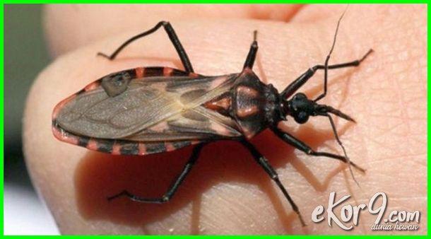 serangga penghisap darah di tempat tidur, serangga penghisap darah di kasur, serangga penghisap darah manusia serangga penghisap darah selain nyamuk, serangga kecil penghisap darah parasit, gambar serangga penghisap darah, macam macam serangga penghisap darah, macam serangga penghisap darah, nama serangga penghisap darah, jenis jenis serangga penghisap darah, jenis serangga penghisap darah