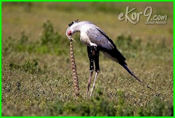 7 hewan ditakuti ular, jenis burung pemakan ular, burung yang memakan ular adalah