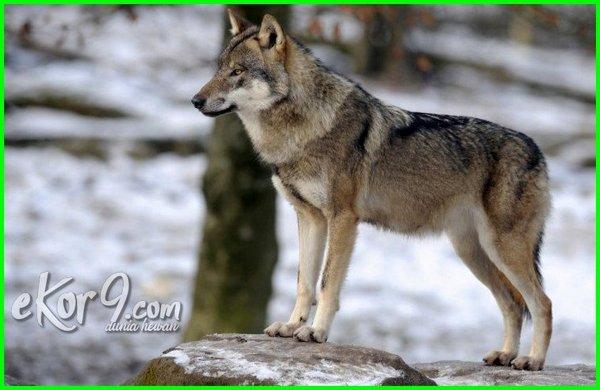 anjing serigala bisa melihat makhluk gaib, anjing melihat makhluk halus, anjing apakah bisa melihat makhluk halus, tanda anjing melihat makhluk halus