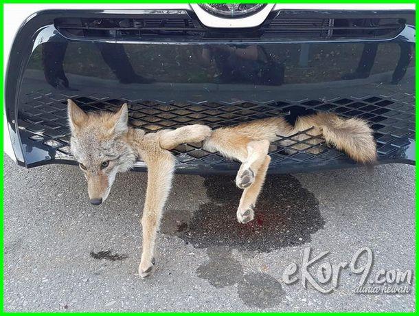 anjing terjebak di bemper mobil