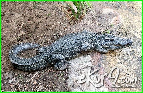jenis reptil langka di indonesia, reptil paling langka di indonesia, reptil indonesia yang terancam punah, reptil yang terancam punah di indonesia