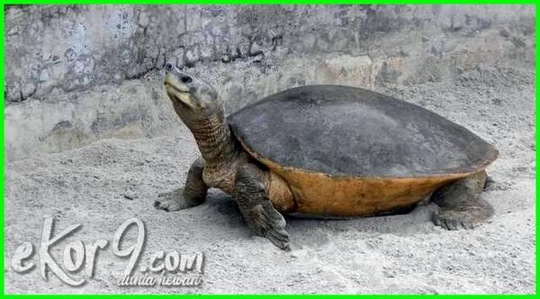 reptil langka di indonesia, daftar reptil paling langka di indonesia, hewan reptil langka di indonesia, jenis reptil langka di indonesia, hewan reptil langka indonesia, reptil langka indonesia, reptil langka yang ada di indonesia, binatang reptil langka di indonesia