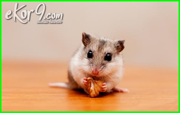macam macam hamster peliharaan, haiwan peliharaan hamster, hamster peliharaan, pelihara hamster atau marmut, hamster binatang peliharaan, hamster lucu
