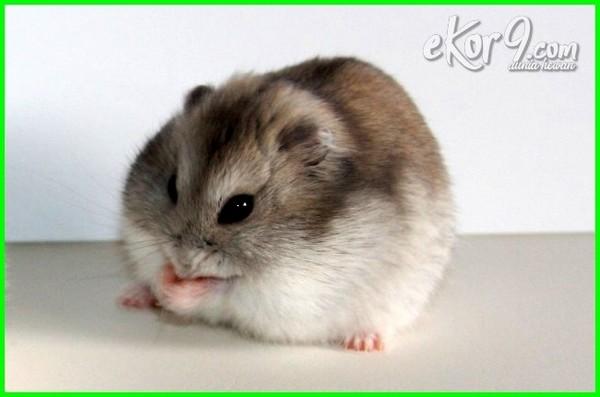 nama jenis hewan hamster sebagai hewan peliharaan, foto hamster peliharaan, makanan hamster peliharaan, cara merawat hamster peliharaan hamster sebagai hewan peliharaan