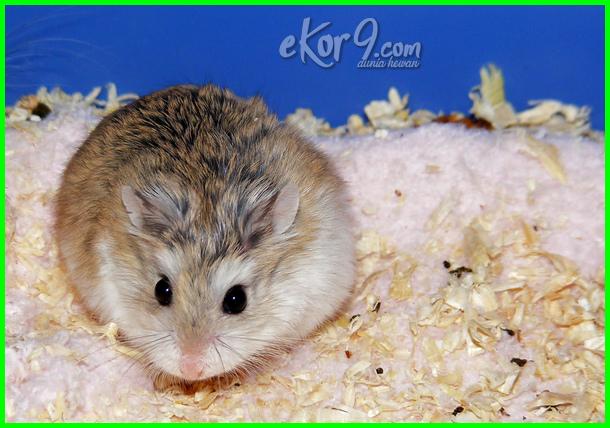 pelihara hamster kaskus, pelihara hamster roborovski, pelihara hamster robo