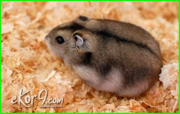 jenis hamster peliharaan, nama hamster peliharaan, foto hamster peliharaan, makanan hamster peliharaan, cara merawat hamster peliharaan