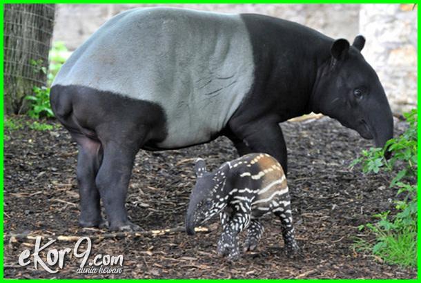 hewan yang lama mengandung, lama hewan mengandung, hewan yg paling lama mengandung
