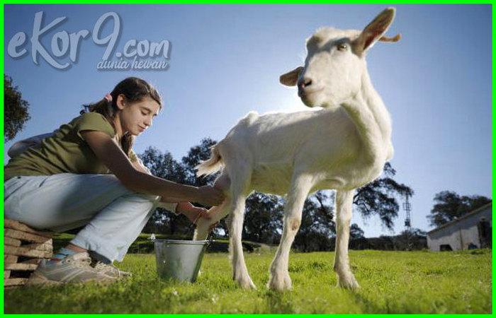 hewan penghasil susu tts, contoh hewan penghasil susu, hewan penghasil susu, gambar hewan yang menghasilkan susu, hewan-hewan penghasil susu