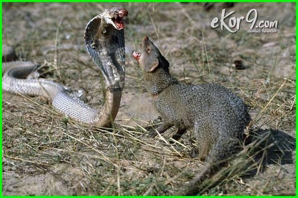 hewan hewan yang ditakuti ular, hewan yang ditakuti oleh ular, hewan yg ditakuti oleh ular, hewan yang paling ditakuti oleh ular, binatang yang bisa membuat ular takut