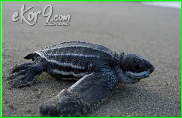 daftar reptil paling langka di indonesia, hewan reptil langka di indonesia, jenis reptil langka di indonesia, reptil paling langka di indonesia