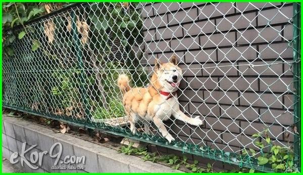 anjing terjebak di pagar, anjing terjebak dalam pagar, anjing terjebak, kepala anjing terjebak di lubang sempit, anjing terjebak gak nyampe 60 tahun