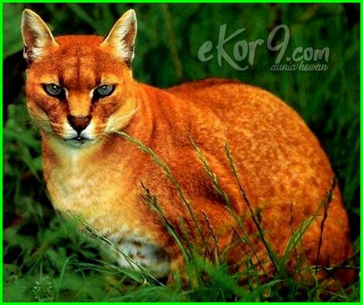 7 Kucing Terlangka Di Dunia Menakjubkan Sekaligus Menggemaskan Dunia Fauna Hewan Binatang Tumbuhan Dunia Fauna Hewan Binatang Tumbuhan