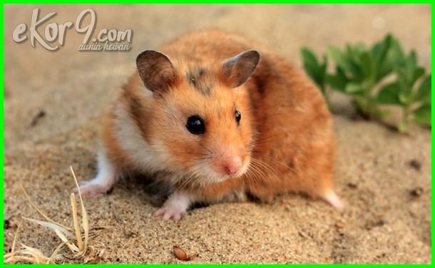 hamster sebagai hewan peliharaan, pelihara hamster syrian, cara menjinakkan hamster peliharaan