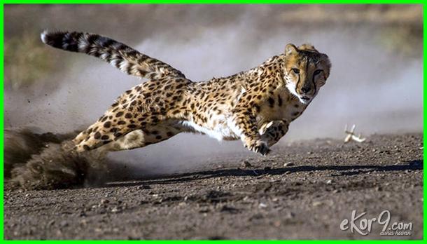 golongan paling ganas dunia invertebrata berbentuk insektivora harimau perbedaan ikan jenis jago sprint reptil jagoan nama kecil komodo kartun kelompok keterangannya merupakan konsumen tingkat sejenis langka laut lengkap latinnya rumus lambung memperoleh hidup pemangsa waktu malam melindungi diri dengan mamalia