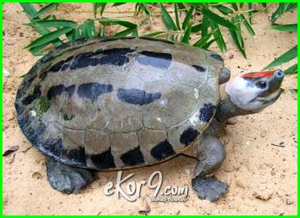 reptil langka di indonesia, daftar reptil paling langka di indonesia, hewan reptil langka di indonesia, jenis reptil langka di indonesia, reptil paling langka di indonesia, reptil indonesia yang terancam punah