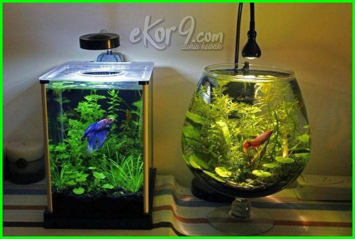 aquarium cupang hias, cara membuat aquarium cupang hias, jual aquarium cupang depok, desain aquarium cupang, dekorasi akuarium cupang, foto akuarium cupang, ukuran akuarium cupang hias, aquarium ikan cupang minimalis, aquarium ikan cupang tanpa kuras, tanaman untuk akuarium cupang