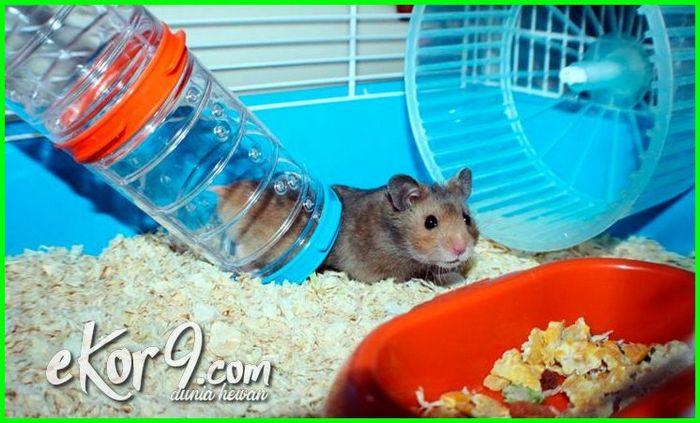merawat hamster yang benar, tips memelihara hamster dengan baik, merawat hamster si imut yang menggemaskan, tips cara memelihara hamster pemula, cara memelihara hamster mini, cara memelihara hamster agar jinak, cara memelihara hamster supaya jinak