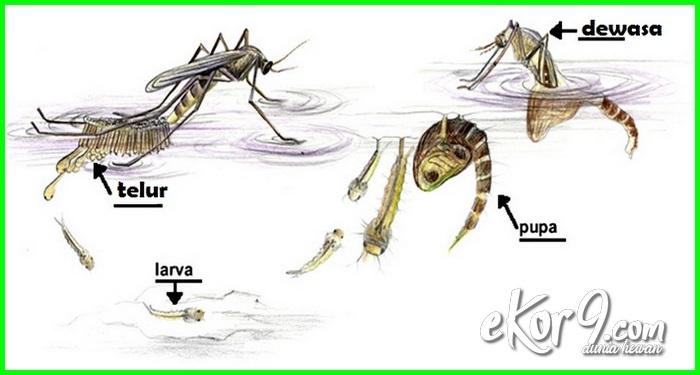 metamorfosis nyamuk, hewan yg mengalami metamorfosis sempurna, hewan yg mengalami metamorfosis sempurna adalah, hewan yang mengalami metamorfosis adalah, hewan yg mengalami metamorfosis adalah, hewan yang mengalami metamorfosis sempurna adalah, contoh hewan yang mengalami metamorfosis adalah, hewan yang mengalami metamorfosis berkembang biak dengan, hewan berikut ini mengalami metamorfosis sempurna kecuali