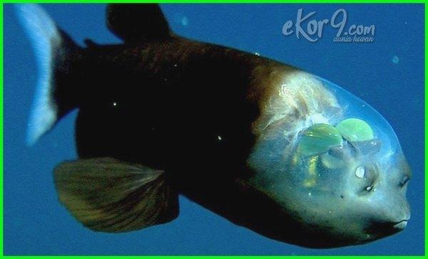 ikan transparan di dunia, ikan transparan dalam air, ikan transparan yang hidup di air, ikan transparan amazon, ikan berkepala transparan, ikan bertubuh transparan foto ikan transparan, gambar ikan transparan, ikan kepala transparan, ikan dengan kepala transparan