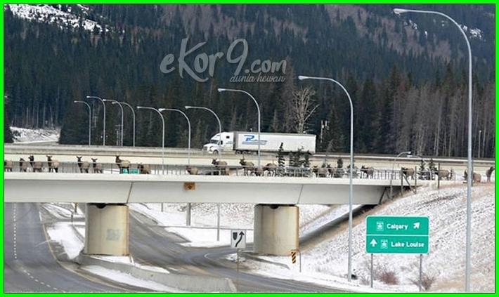 jembatan penyebrangan binatang liar