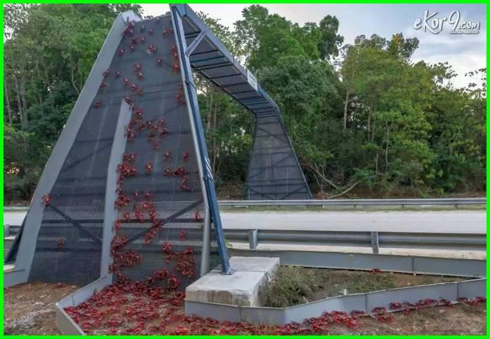 Christmas Island bridge for red crab