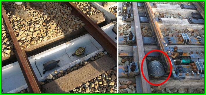 jembatan kura-kura di jepang,, Jembatan rel kereta hewan binatang di jepang