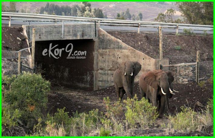 jembatan penyebrangan untuk hewan di afrika, kenya
