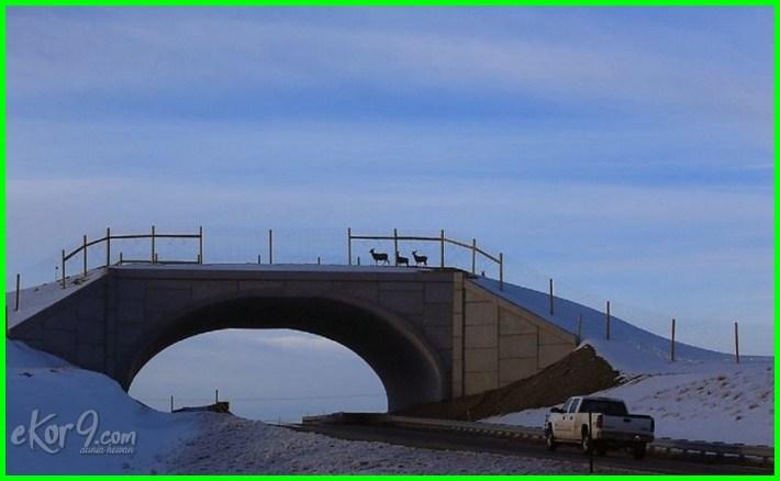 jembatan penyebrangan khusus untuk hewan di dunia