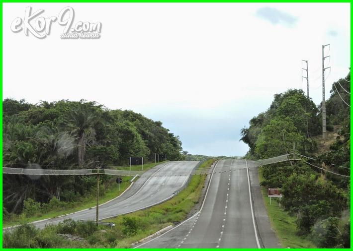 jembatan primata di brazil, jembatan hewan memanjat di brazil, jembatan penyebrangan untuk hewan monyet di negara brazil