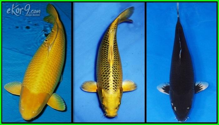 jenis ikan koi dan warnanya, jenis ikan koi populer, jenis ikan koi paling mahal, gambar dan nama jenis ikan koi, nama jenis ikan koi, jenis ikan koi paling laris, nama2 jenis ikan koi, daftar nama jenis ikan koi, jenis ikan koi paling populer