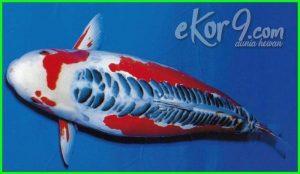 jenis ikan koi lengkap, jenis ikan koi asli jepang, jenis ikan koi asagi, jenis ikan koi asli, jenis ikan koi aquarium, jenis ikan koi ada berapa, ada sepuluh 10, jenis ikan koi akuarium, jenis ikan koi yang ada di indonesia, jenis ikan mas koi asli jepang