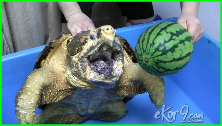 jenis kura kura yang sangat berbahaya, cara mengetahui jenis kura kura, cara mengenali jenis kura kura, jenis dan ciri ciri kura kura, jenis kura kura dan harganya, jenis kura kura dan makanannya, jenis kura kura dan gambarnya, jenis kura kura di malaysia, jenis kura kura air darat indonesia