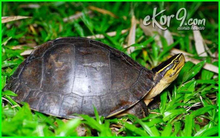 jenis kura kura untuk peliharaan, macam macam jenis kura kura peliharaan, jenis kura kura darat untuk peliharaan, jenis kura kura peliharaan di malaysia