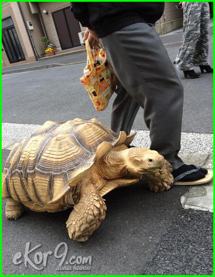 jenis kura kura peliharaan di indonesia, jenis kura kura untuk peliharaan, jenis kura kura darat peliharaan