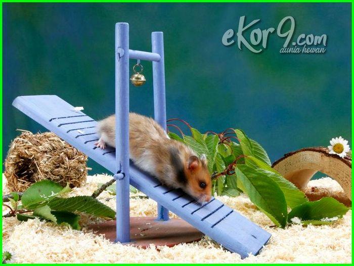 pengalaman memelihara hamster, pengalaman bela hamster, pengalaman pelihara hamster