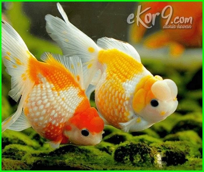 Cara Pemijahan Ikan Mas Koki Di Akuarium Dunia Fauna Hewan Binatang Tumbuhan Dunia Fauna Hewan Binatang Tumbuhan