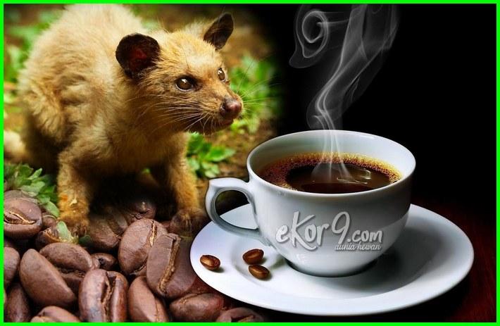 kopi luwak mahal, alasan kopi luwak mahal, kenapa harga kopi luwak mahal, kopi luwak kenapa mahal, mengapa kopi luwak mahal