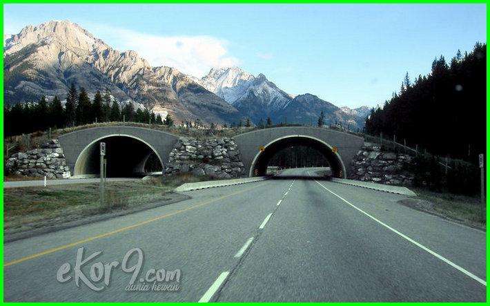 canada animal crossing bridge, wildlife bridge canada